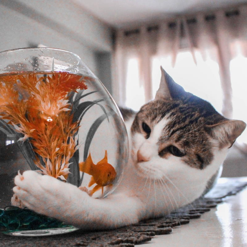 cat trying to get to goldfish in bowl