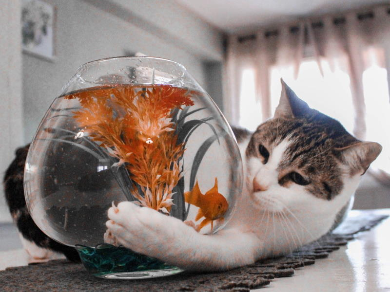 Cat pawing at goldfish in bowl